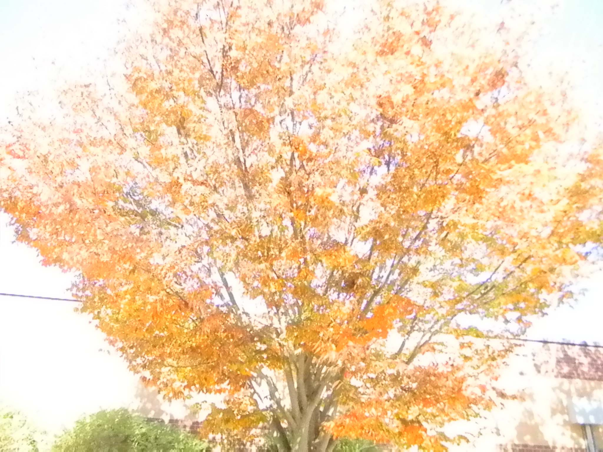 A view of the epic, scenic and captivating tree in Senora Sollie's Spanish III class. Every student was incapable of resisting the view of the glorious fall foliage outside of Sollie's window.