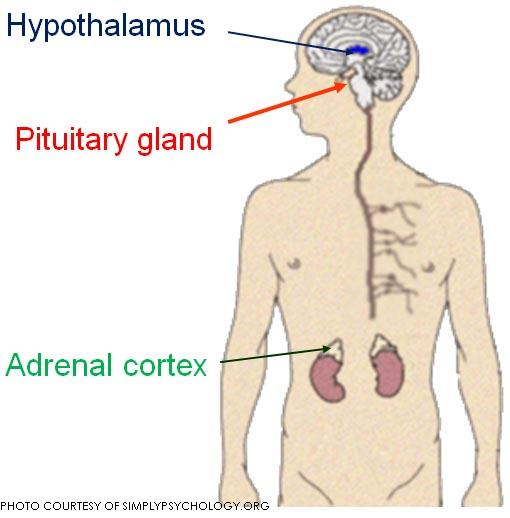 A diagram of the location of the pituitary, hypothalamus and adrenal glands. These are the parts that stimulate the symptoms of stage fright.