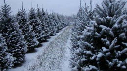Evergreen trees are a big part of holiday traditions for some Leesville students. Pictured above is an Evergreen tree farm in Ohio. (Photo courtesy of https://northeastohiofamilyfun.com/directory/sugargrove-tree-farm/)