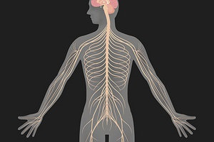 The Autonomic Nervous System runs throughout your body and controls many daily functions. When someone has dysautonomia, the nerves in their body are damaged and are unable to function properly. (Photo used by permission of iStock)