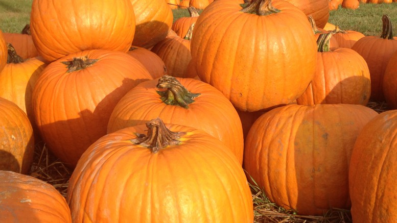 Fall is the shortest of the seasons (to many Raleighites, anyway), but there is no shortage of things to do during those precious few weeks it lasts. Many people enjoy the activity of selecting and carving pumpkins for Halloween. (Photo Courtesy of Michael Beauregard)