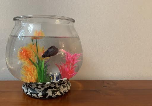 Why Betta Fish?