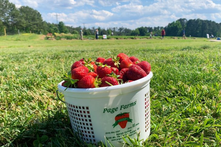 Picking Strawberries at Page Farms